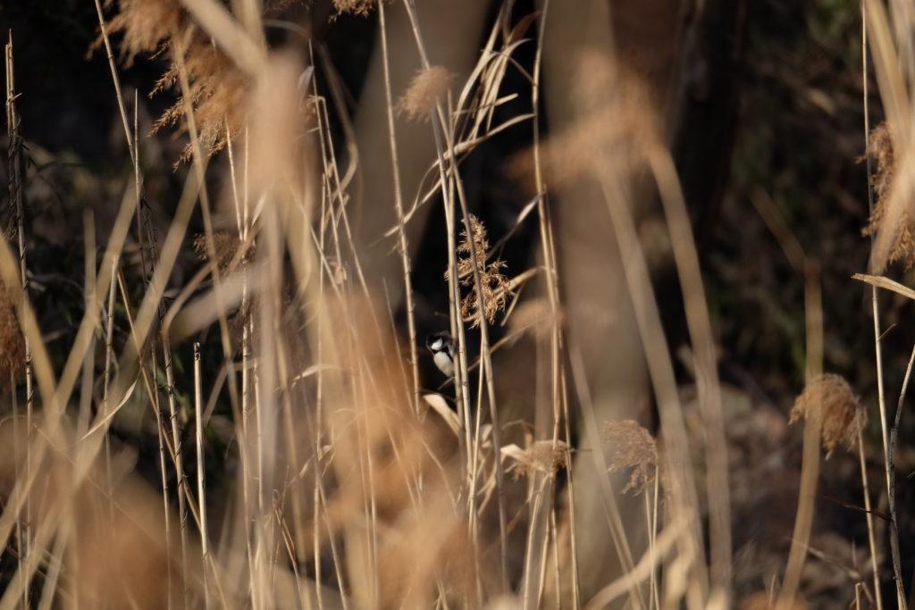 シジュウカラ-小網代の森